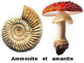 ammonite et amanite